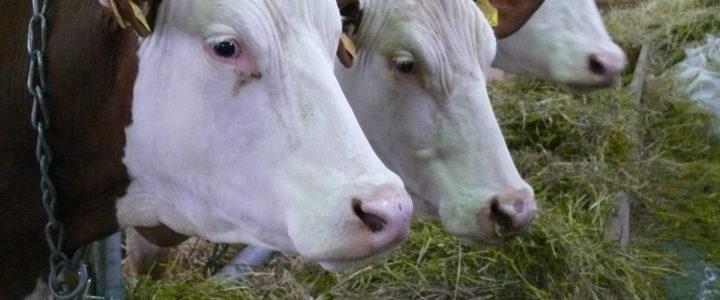 Praktyczne wskazówki dla rolników w przypadku konieczności uboju zwierząt gospodarskich kopytnych poza rzeźnią